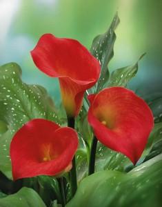 Зодиакальные цветы