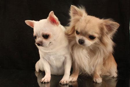 - порода маленьких собак