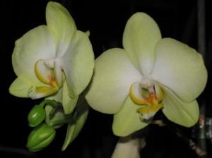 Орхидеи - уход.