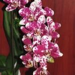 Уход за орхидеями.