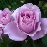 Уход за розами.